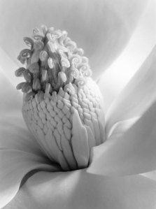 imogen_cunningham_magnolia_blossom_tower_of_jewels_1925