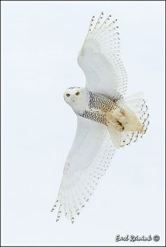 Snowy Owl - Great Shot !