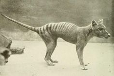 """Photo of living tasmanian tiger under the catagory, """"Photos of extinct animals taken while still extant.""""  Video footage of this now extinct animal! species.wikimedia..."""