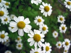 camomile German will sooth irritated nasal passages and reduce inflammation