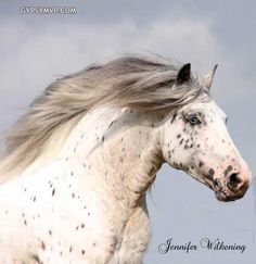 Gypsy Vanner stallion Ghost Rider (Hermits Ghost William). So Gypsy horses also come with spots. Now I want.