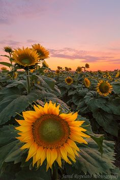 Sunset in Sunflower field