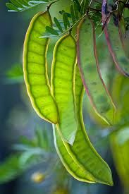mesquit tree, plant, seed pods, pattern, pea, color, green beans, garden, green flowers