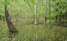 Swamp Animals and Plants   Cypress swamp with bladderwort flowers in the USA