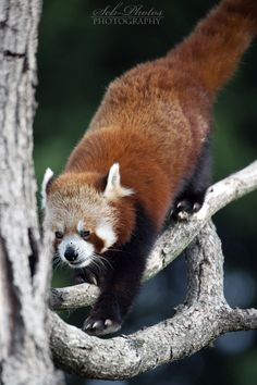 fluffi firefox, ador anim, red panda