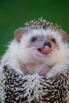 hedgie tongue!