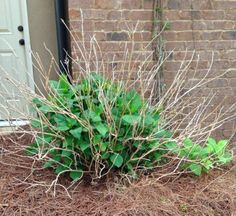 Cut Your Losses    Time to Prune Winter Damaged Plants