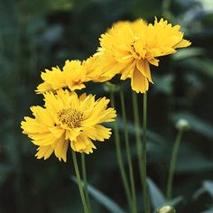 Coreopsis is another great plant for clay soil. Shown here is popular 1989 AAS Gold Medal Winner 'Early Sunrise.'