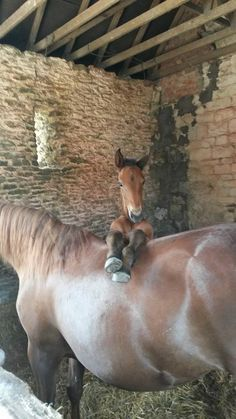 Mom!!! The humans ride you!!! Why can't I? And where do they keep you're saddle??? poni, baby horses, modern country, baby foals, horse hay, human ride, ador, colts horses, old barns