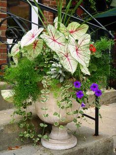 Container garden idea: caladeums & asparagus fern.  This would prefer a shady spot, on the deck, perhaps