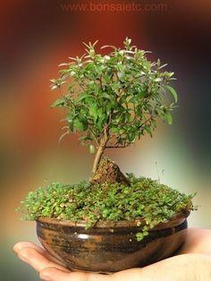 tiny bonsai, white flowers, berries