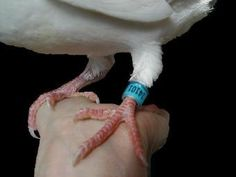 permanent seamless band on leg of homing pigeon