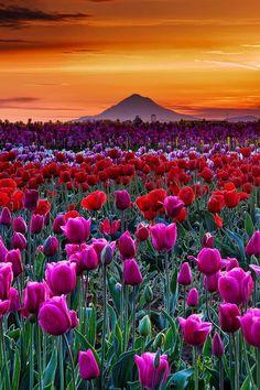 Sunset in Tulip Farm in Woodburn, Oregon