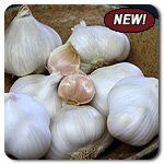Organic Nootka Rose Garlic - Heirloom - Silverskin softneck with bright white skin and rosy streaked cloves; excellent for braiding. Nootka Rose is a late maturing garlic – the latest variety among the Silverskins – but well worth the wait. Flavor is rich and warm, but not overly hot. This is a very long-storing garlic that easily holds into the next spring or even summer.