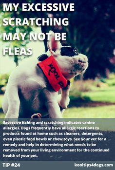 Excessive itching and scratching indicates canine allergies. Dogs frequently have allergic reactions to products found at home such as cleaners, detergents, even plastic food bowls or chew toys. See your vet for a remedy and help in determining what needs to be removed from your living environment for the continued health of your pet.