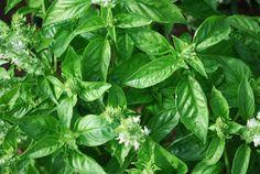 Growing'Genovese' Basil, the Perfect Pesto Basil.