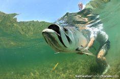 Tarpon Mugshot fli fish, saltwat fish, tarpon mugshot, fish pic, florida fish, inshor fish, fish associ, aoscc flyfish, sport fish