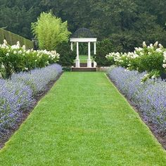 At Longwood Gardens, in Kennett Square, Pennsylvania, a wide mown path is planted with matching rows of Caryopteris 'Longwood Blue' and Hydr...