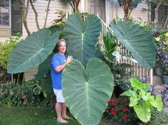 This is part of the caladium family/elephant ear....I think.