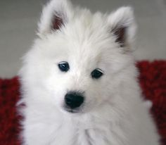 Haven the adorable Samoyed puppy