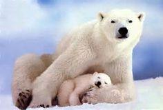 polar bears - Bing Images