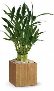 Teleflora's Good Luck Bamboo Plants