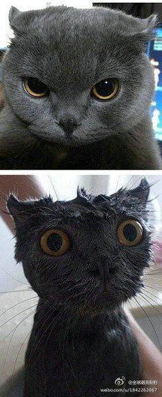 poofy cat turns to sad wet cat