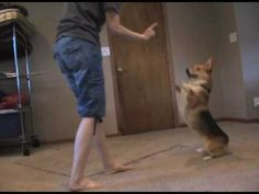 You gotta see this! A #corgi bustin' a move! Adorable!