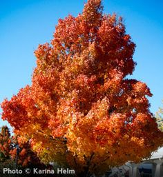 Sugar Maple  Acer saccharum    Landscape Standout  Brilliant Fall Colors turning yellow, orange, and red  Deer Resistant: Seldom Severely Damaged  Grows 60' to 75' high with 40 to 50' spread  Zones 3 to 8