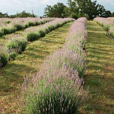 Lavender farms in Blanco, TX.