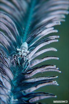 Cenoid Shrimp