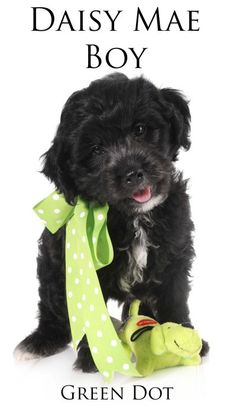 This is precious little English Goldendoodle from www.teddybeargoldendoodles.com