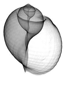 Xray Seashell by Bert Myers