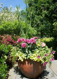 Mixed planter with Dahlia
