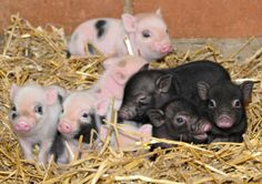 These days-old piglets will exceed 100 pounds when they are finished growing!
