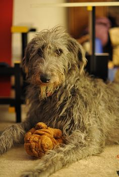 Scottish Deerhound Dog