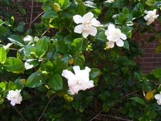 Gardenias in blossom, they smell better than this picture.
