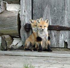 aw foxi, anim, critter, hug, hide, creatur, ador, foxes, thing