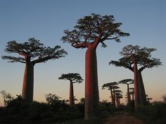 Google Image Result for http://files.etonnant-astonishing.webnode.com/200000145-e4e77e5e18/baobab-madagascar.jpg