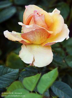 Sunstruck Rose hybrid