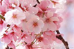 Flower Sakura Royalty Free Stock Image - Image: 14318686
