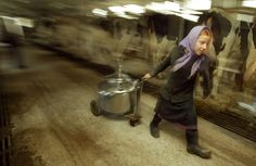 Amish girl Elizabeth Stoltzfus drags a container of milk after a mass cow milking Oct. 22, 2003, in Wakefield, Pa.     Amish children start work on the farm early, often milling about the barn almost as soon as they can walk.