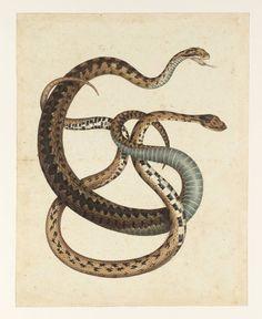 Albertus Seba. Two Snakes, date not known