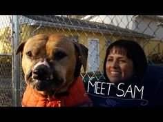 Meet Sam, a pit rescued from dogfighting.