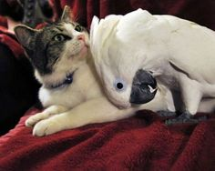 The cat and the cockatoo; a special relationship...