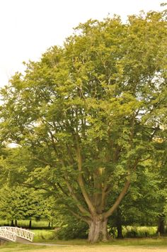 trees of the netherlands | European beech in the park of Elswout, Overveen, Netherlands