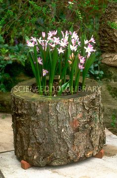 Tree stump as planter