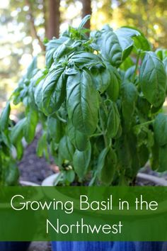 Growing Basil in the Northwest