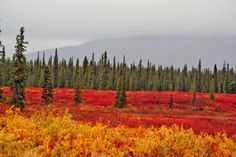 Beautiful fall colors along the Parks Highway.