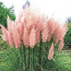 Pink Feather Pampus Grass Enjoy fresh green foliage that is topped with beautiful thick, long pink plumes. Cortaderia selloana Pampas Grass is a low-maintenance feather duster that will grow from late summer and throughout the fall. To obtain good growth and plume production, pampas grass should be fertilized with a complete fertilizer (6-6-6, 8-8-8 or 10-10-10) at a rate of two pounds per 100 square feet four times each year.